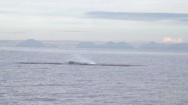 orca jumping out of ocean in lofoten archipelago - dolphin stock videos & royalty-free footage