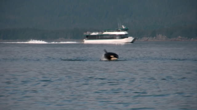 orca killer whales hunting sea lions high definition hd video - killer whale stock videos and b-roll footage