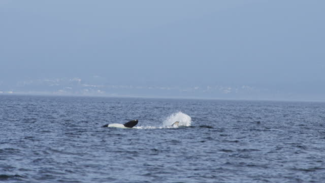 orca lying on side and splashing  with shoreline in distant background - lying on side stock videos & royalty-free footage