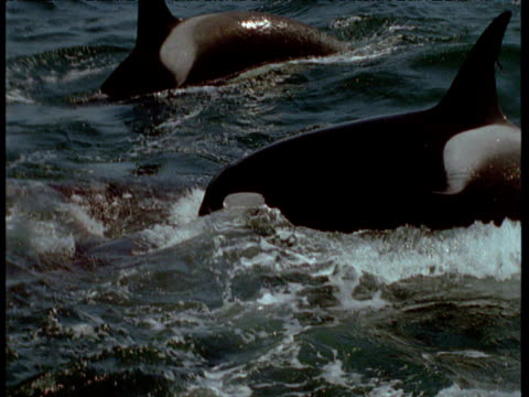Orca pod attack and attempt to drown grey whale calf, Monterey, California