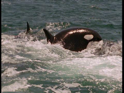 Orca pod attacks grey whale calf, Monterey, California