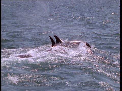 Orca pod porpoise and attack grey Whale calf, Monterey Bay, California