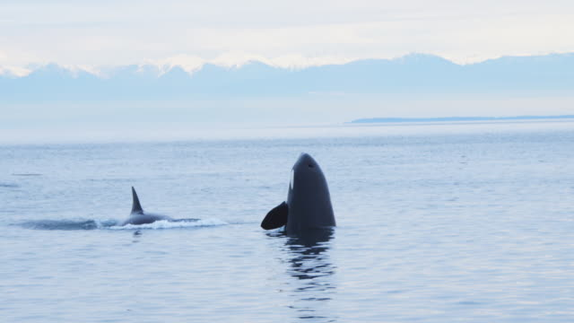 vidéos et rushes de orca spyhops with second orca and snowy mountains in background  - épaulard