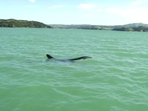 orca surfacing near coast - surfacing stock videos & royalty-free footage