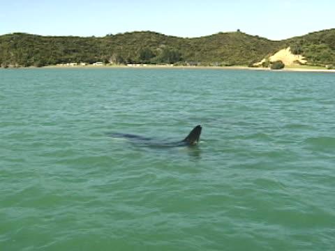 vídeos de stock e filmes b-roll de orca surfacing near coast - cetáceo