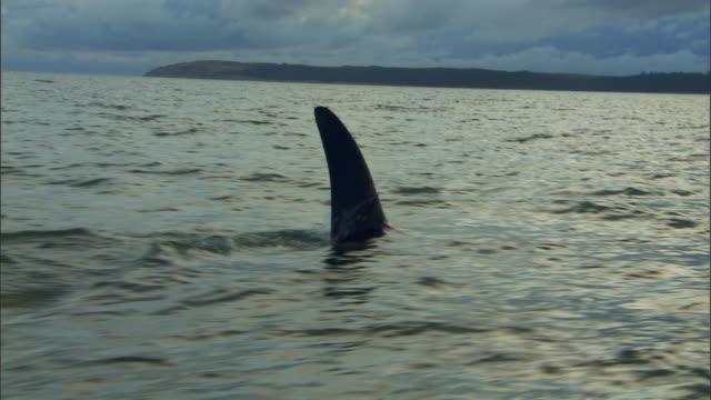 WS PAN Orca swimming across ocean under cloudy blue sky / New Zealand
