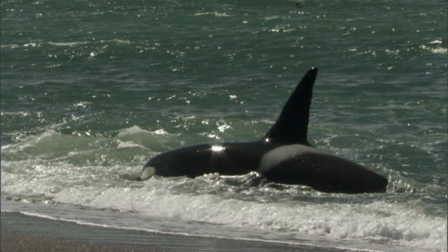 ms pan orca swims in ocean in surf / puerto madryn, chubut, argentina - killer whale stock videos & royalty-free footage