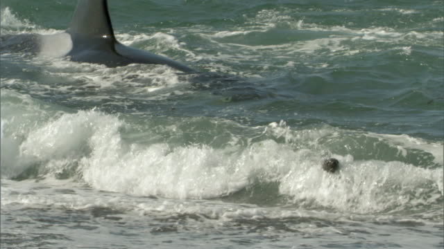 ms pan zi orca swims in surf toward seals / puerto madryn, chubut, argentina - argentina stock videos & royalty-free footage