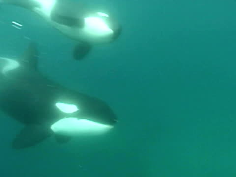 vidéos et rushes de orca (orcinus orca) swims past camera, bay of islands, new zealand - bay of islands nouvelle zélande