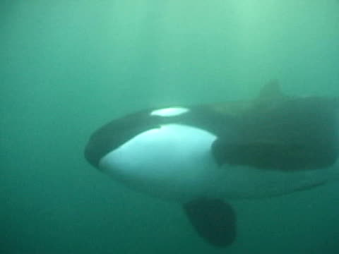 orca swims past camera through sunbeams