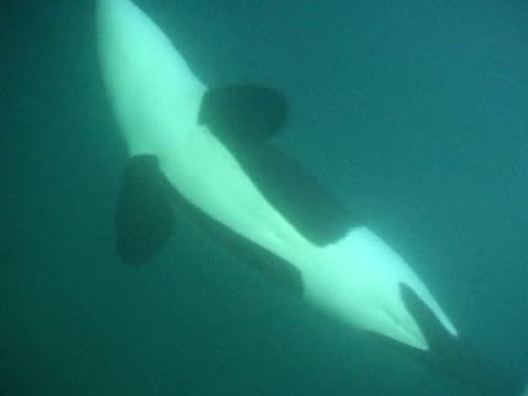 orca swims past camera to surface