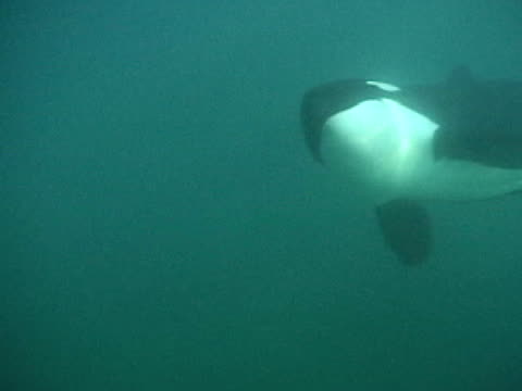 orca swims past camera
