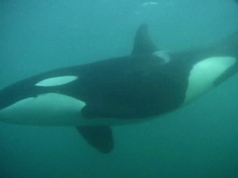 orca swims past camera - killer whale stock videos and b-roll footage