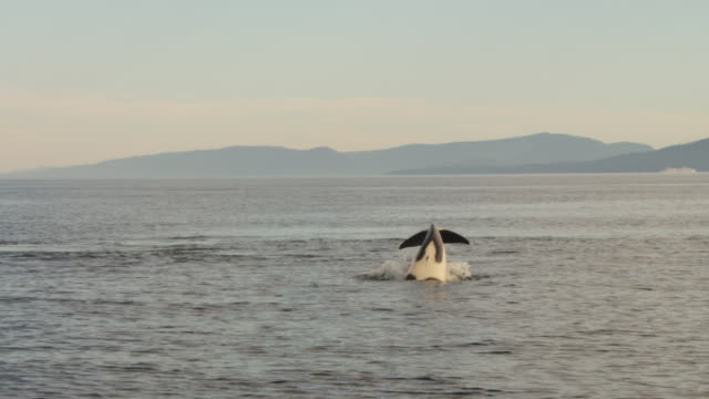 Orca tail slaps and fishing with shoreline in distance