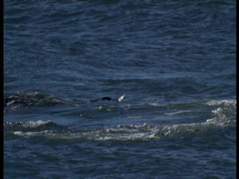 orca tosses swimming sealion pup into air, punte norte, argentina - シャチ点の映像素材/bロール