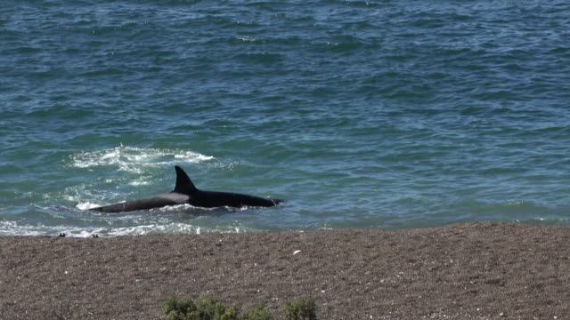 orca turns away from sea lion puppies and the beach in punta norte - sea lion stock videos & royalty-free footage