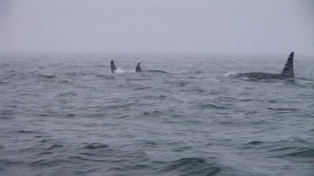 hd: orca - rückenflosse stock-videos und b-roll-filmmaterial