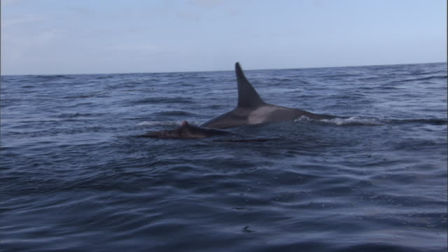 Orcas attack a wounded Steller's sea lion. Available in HD.