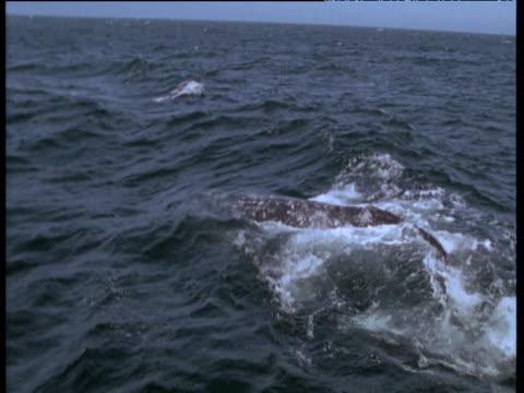 vídeos de stock e filmes b-roll de orcas attack grey whale mother and calf at surface, monterey, california - cetáceo
