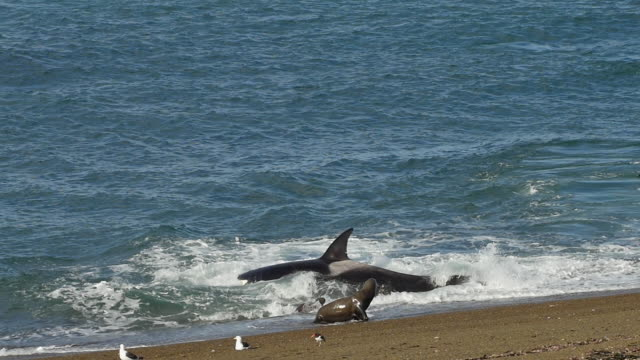 orcas escapes from the beach after capturing sea lion puppy - killer whale stock videos and b-roll footage