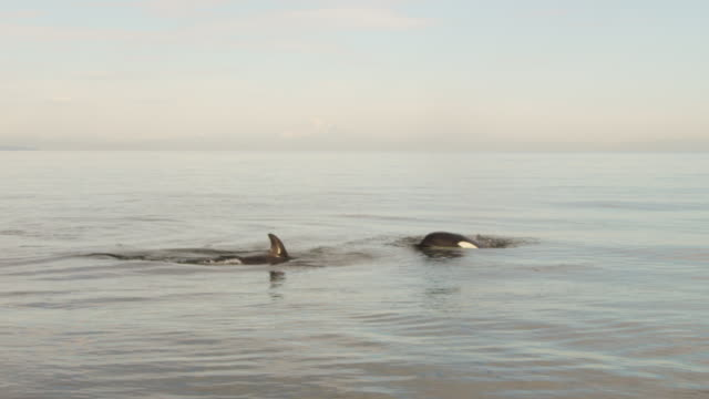 2 orcas fishing in flat open sea - killer whale stock videos & royalty-free footage
