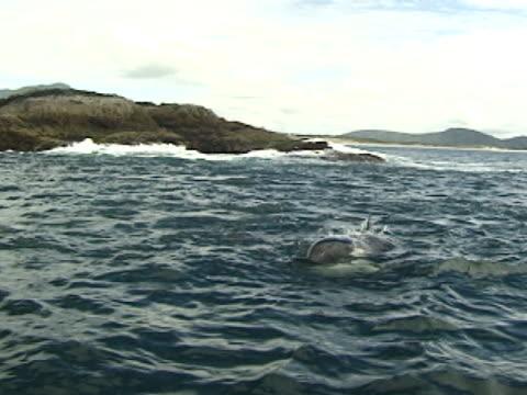 orcas, killer whales, surfacing alongside rocks