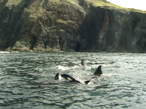 orcas, killer whales, surfacing next to cliffs