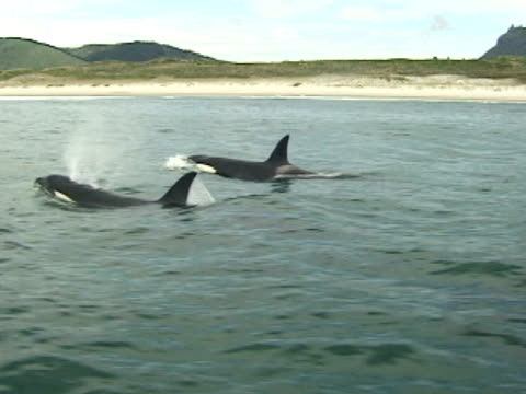 orcas, killer whales, surfacing, sandy beach in background - two animals stock videos & royalty-free footage