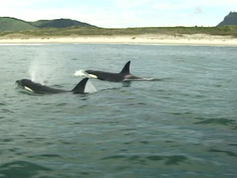 orcas, killer whales, surfacing, sandy beach in background - 吹く点の映像素材/bロール