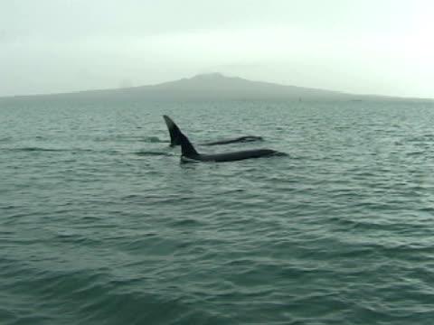 orcas, killer whales, surfacing