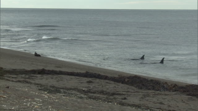 ws pan zi zo orcas lurking near shoreline near beach / puerto madryn, chubut, argentina - killer whale stock videos & royalty-free footage