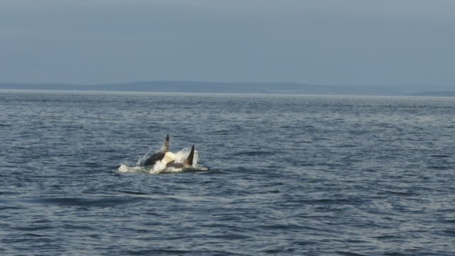 2 orcas play in open sea with coastline in distance - cetacea bildbanksvideor och videomaterial från bakom kulisserna