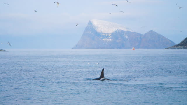 orcas rising out of the sea. - arctic stock videos & royalty-free footage
