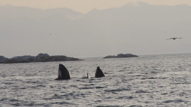 2 Orcas spyhop and group surface and breathe with rocks in background