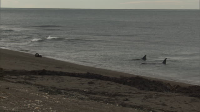 orcas stalk seals in shallow water. - provinz chubut stock-videos und b-roll-filmmaterial