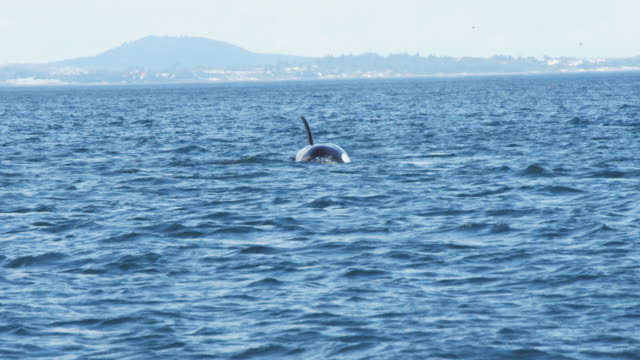 2 Orcas surface and breathe towards camera with distant coastline