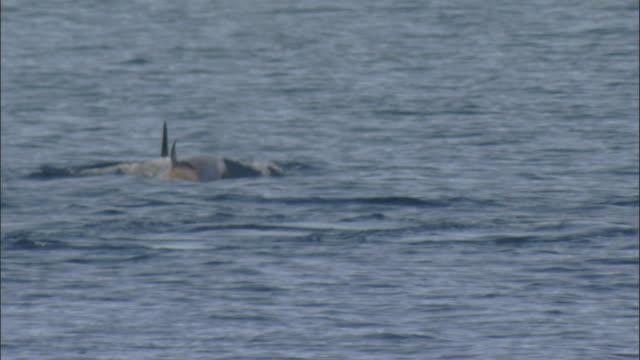 vídeos y material grabado en eventos de stock de orcas (orcinus orca) surface and dive - grupo mediano de animales