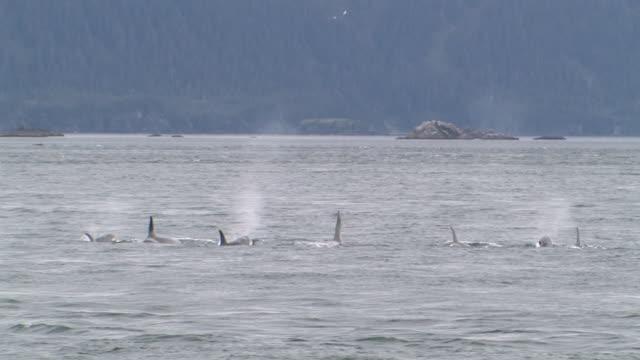 ws, orcas (orcinus orca) surfacing in glacier bay, glacier bay national park and preserve, alaska, usa - surfacing stock videos & royalty-free footage