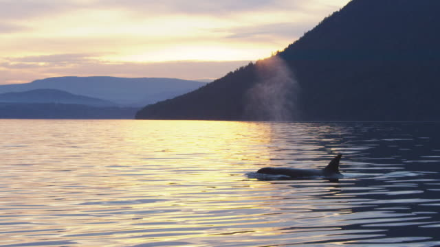 2 Orcas surfacing to breathe away from camera backlit in evening light with coastline in distance