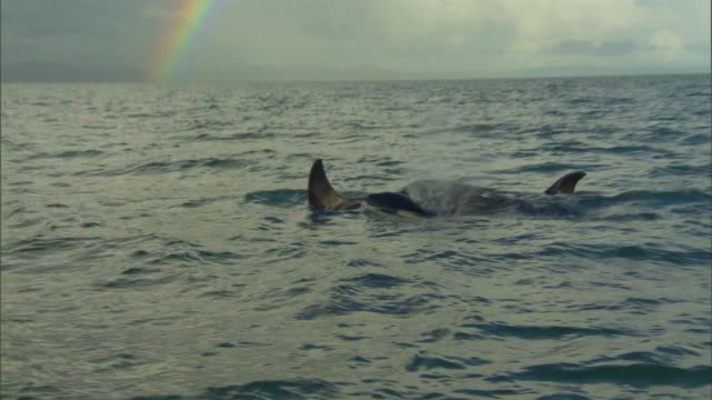 stockvideo's en b-roll-footage met ws pan zi orcas swimming in ocean, rainbow visible above / new zealand - rugvin