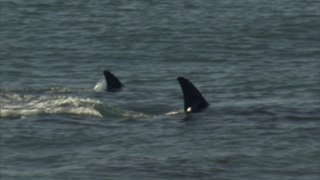 ms ts orcas swimming in ocean surface under twilight sky / puerto madryn, chubut, argentina - ハナゴンドウ点の映像素材/bロール