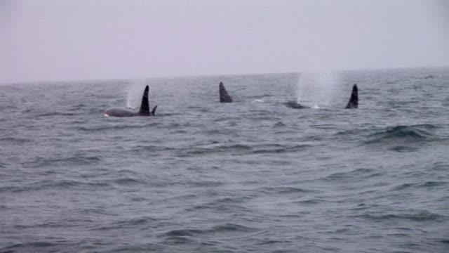 HD: Orcas