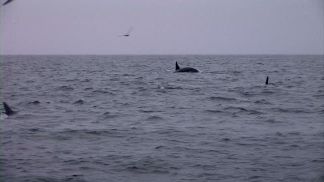 hd: orcas - schwertwal stock-videos und b-roll-filmmaterial