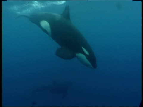 vidéos et rushes de ms orcas/killer whales (orcinus orca) swimming past camera just beneath surface, kimbe bay, papua new guinea, papua new guinea , west new britain region - épaulard
