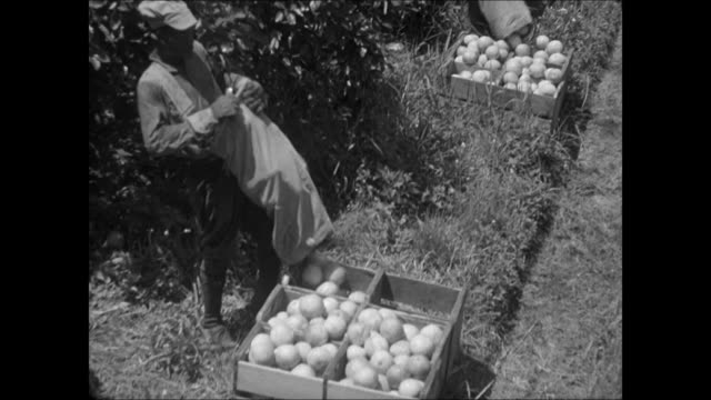 vídeos de stock, filmes e b-roll de orchard field. rows of fruit trees on field. african-american man pouring fruits out of bag into crate. fruit trees . - 1930 1939