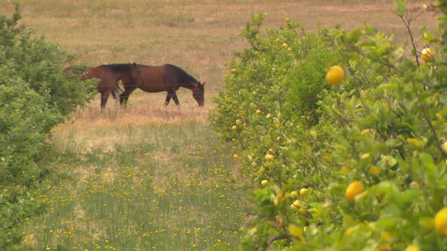 orchard, lemons trees with lemons on them, two horses in the background graze in a paddock - 果樹園点の映像素材/bロール