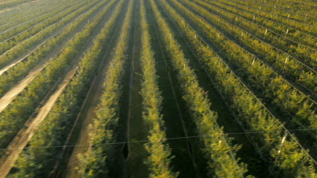 aerial orchard of apple tree - orchard stock videos and b-roll footage