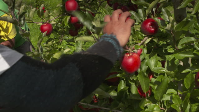 Orchard worker picking apples at organic orchard