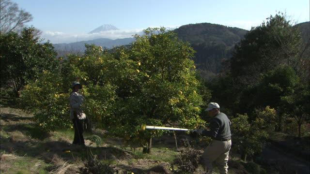 vídeos de stock e filmes b-roll de orchard workers pick yuzus from an orchard. - coleção