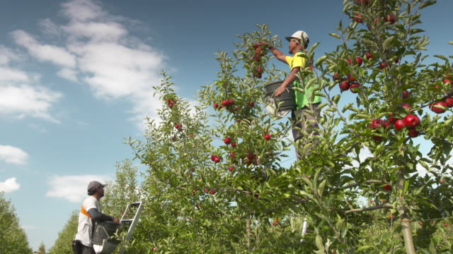 Orchard workers picking apples using ladder at organic orchard